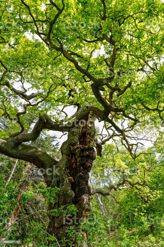 Bent and misshapen old oak tree stock photo