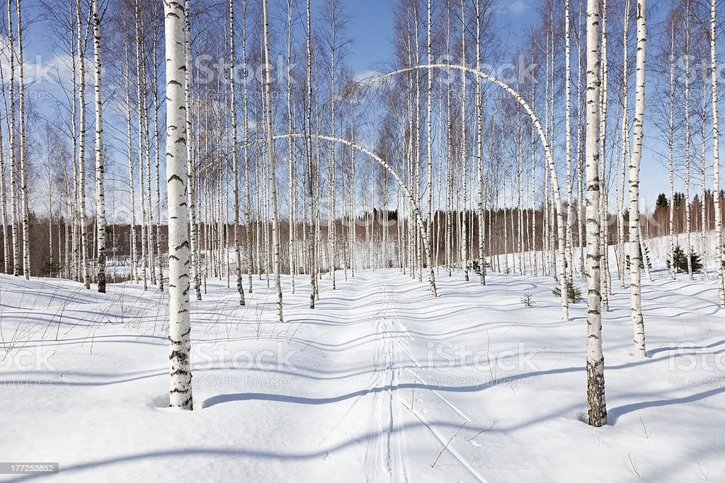 Bent Birch Trees royalty-free stock photo