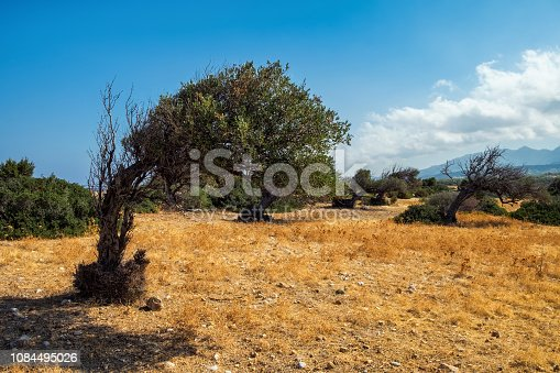 istock Bent olive tree standing lonely in dried grass desert 1084495026
