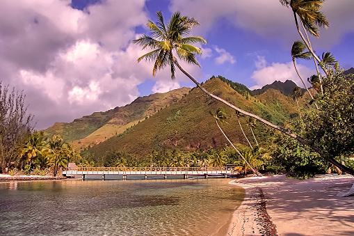 Bent Palm Trees And Mountains Background In Moorea Island