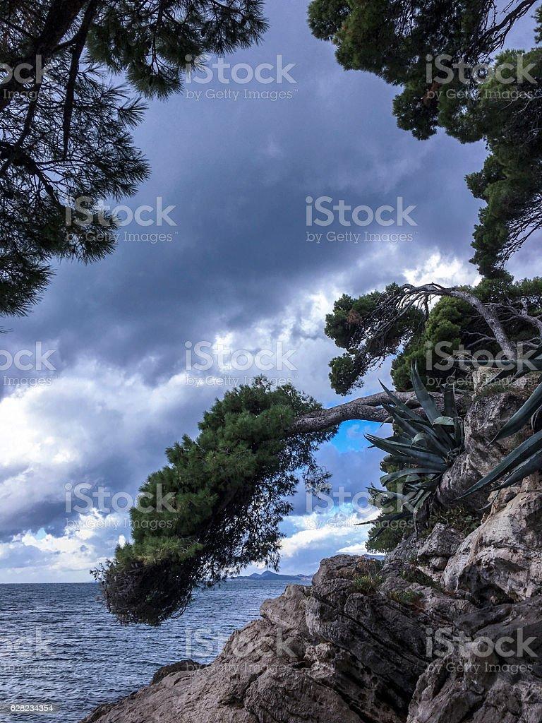 Bent pine trees and agave at Cavtat waterfront_Croatia ストックフォト