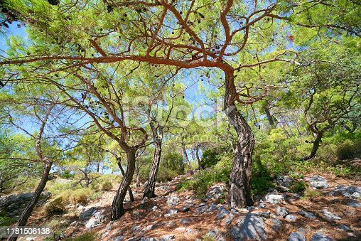 Bent slanted pine trees on the side of  mountain, Oludeniz - Turkey
