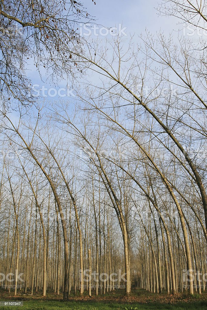 Bent Trees royalty-free stock photo