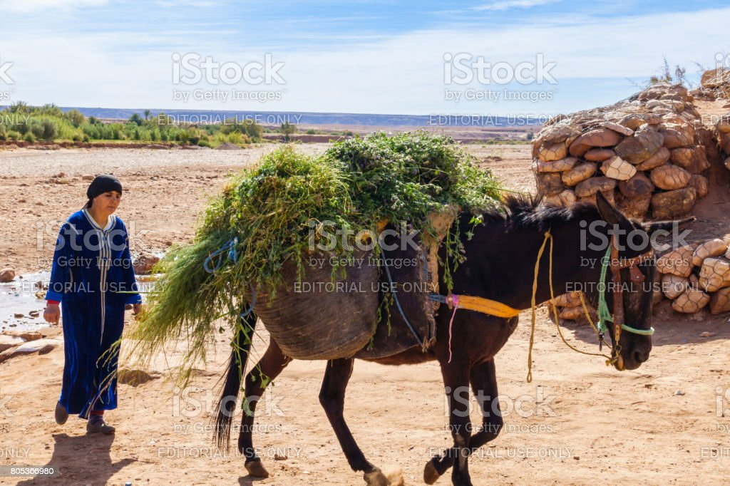 Berber Woman walking behind loaded Mule stock photo