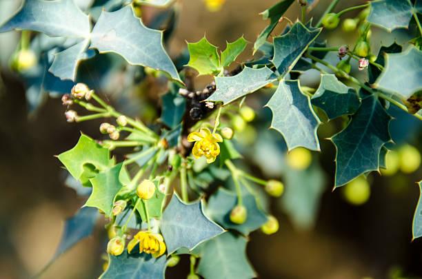 Berberis haematocarpa (Algerita) stock photo