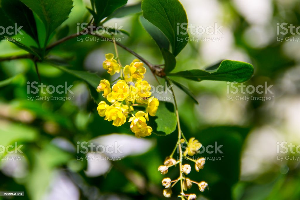 Berberis Ilicifolia. Branch of a blossoming barberry. Yellow flowers of barberries on bush stock photo