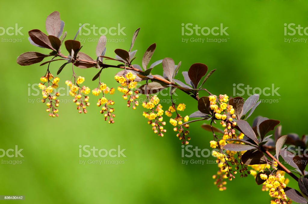 Berberis Ilicifolia stock photo