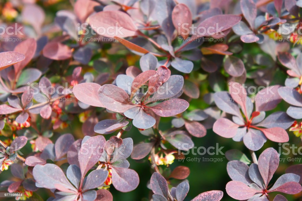 Berberis ottawensis or berberis thunbergii atropurpurea superba deep red purple foliage stock photo