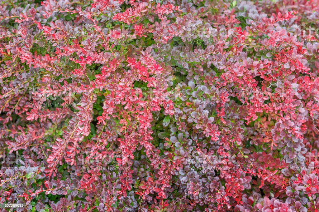 Berberis thunbergii Atropurpurea Nana background texture stock photo
