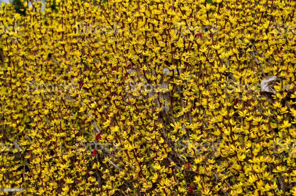 Berberis thunbergii Aurea stock photo