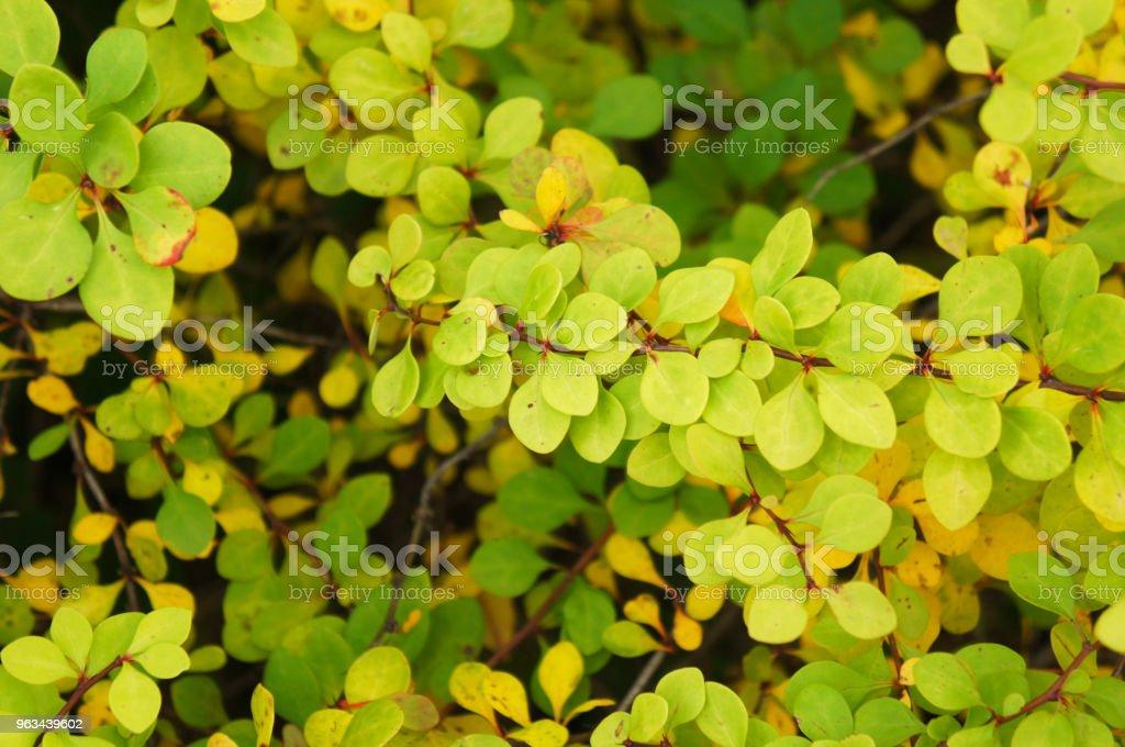 Berberis thunbergii aurea fond feuillage vert d'usine - Photo de Beauté libre de droits