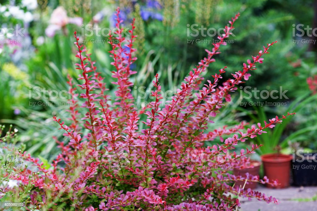 Berberis thunbergii Red Carpet ornamental perennial shrub in the garden landscape stock photo