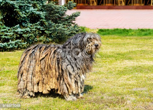 The Bergamasco Shepherd stands on the green grass in the park.