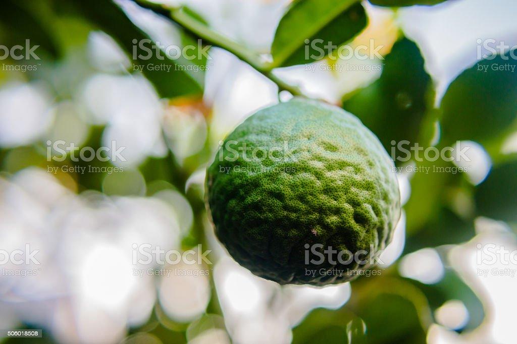 Bergamote ajoutez les oignons - Photo