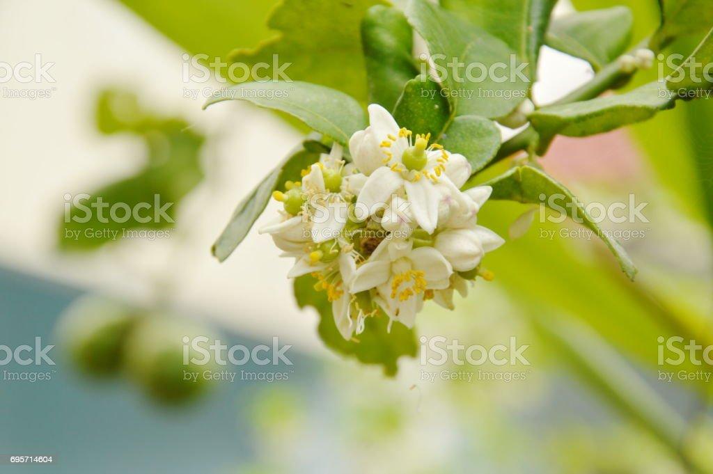 Bergamotte Blume Tropische Pflanzen Und Kräuter Im Garten Stock ...