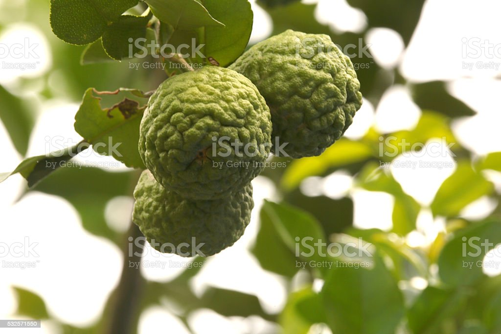 Bergamot herb Thailand stock photo
