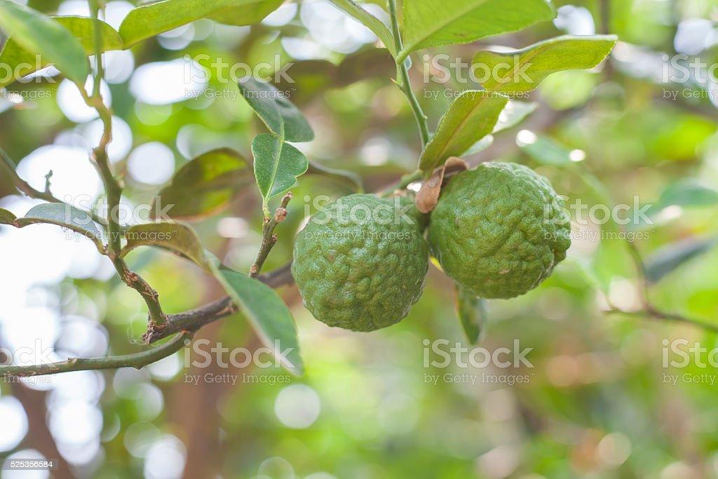 Bergamot on Tree in gaden, bergamot (Kaffir Lime) fruits stock photo