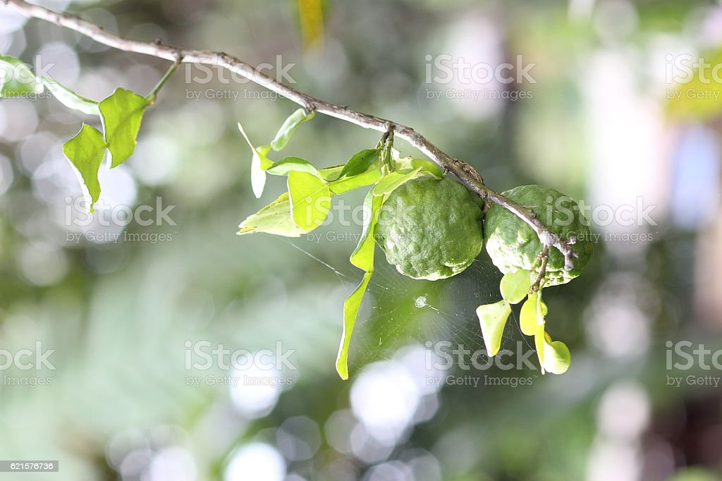 Bergamot on Tree in gaden photo libre de droits