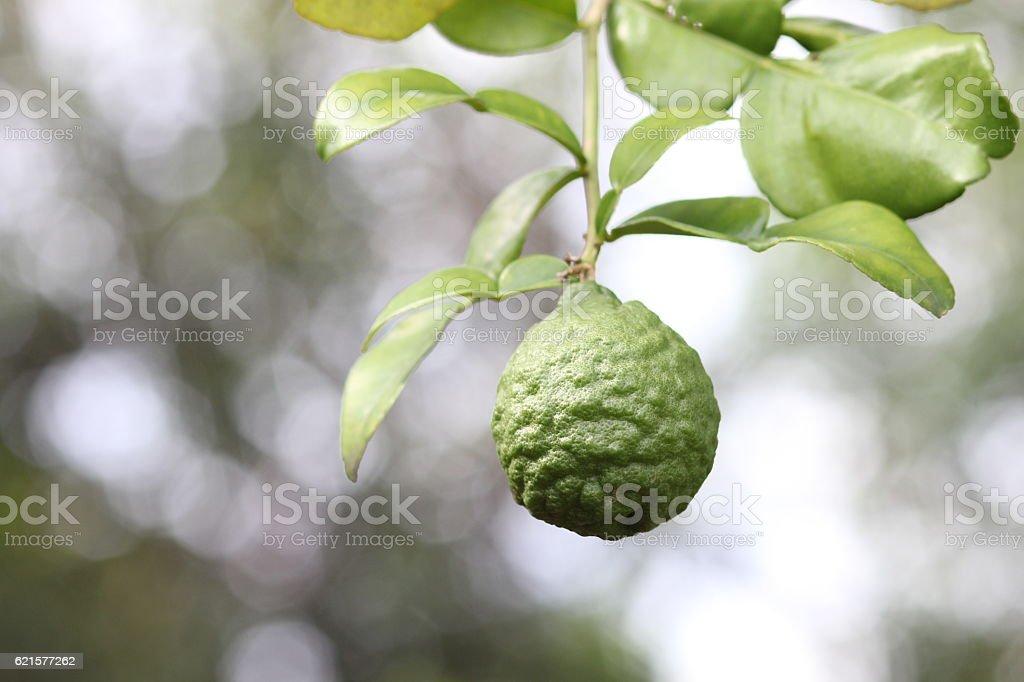 Bergamot on Tree in gaden stock photo