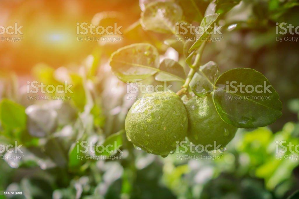 Bergamote sur arbre en gaden - Photo