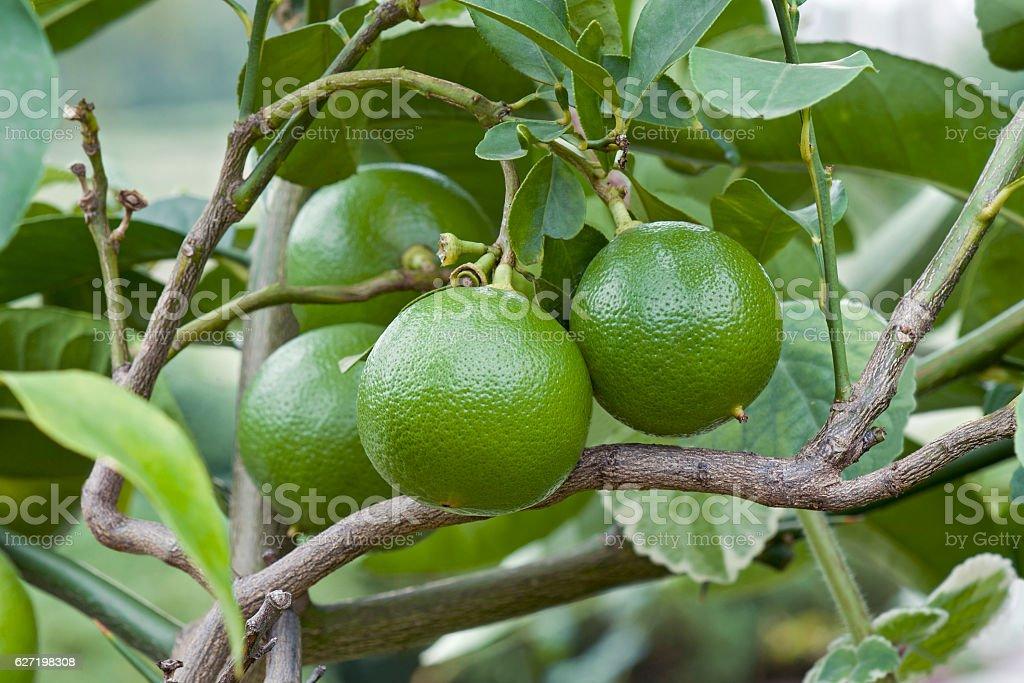 Bergamot orange fruits - Photo