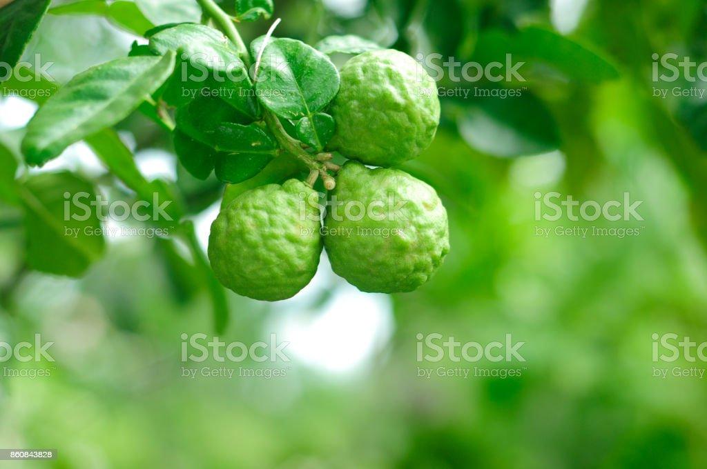 Bergamot tree stock photo
