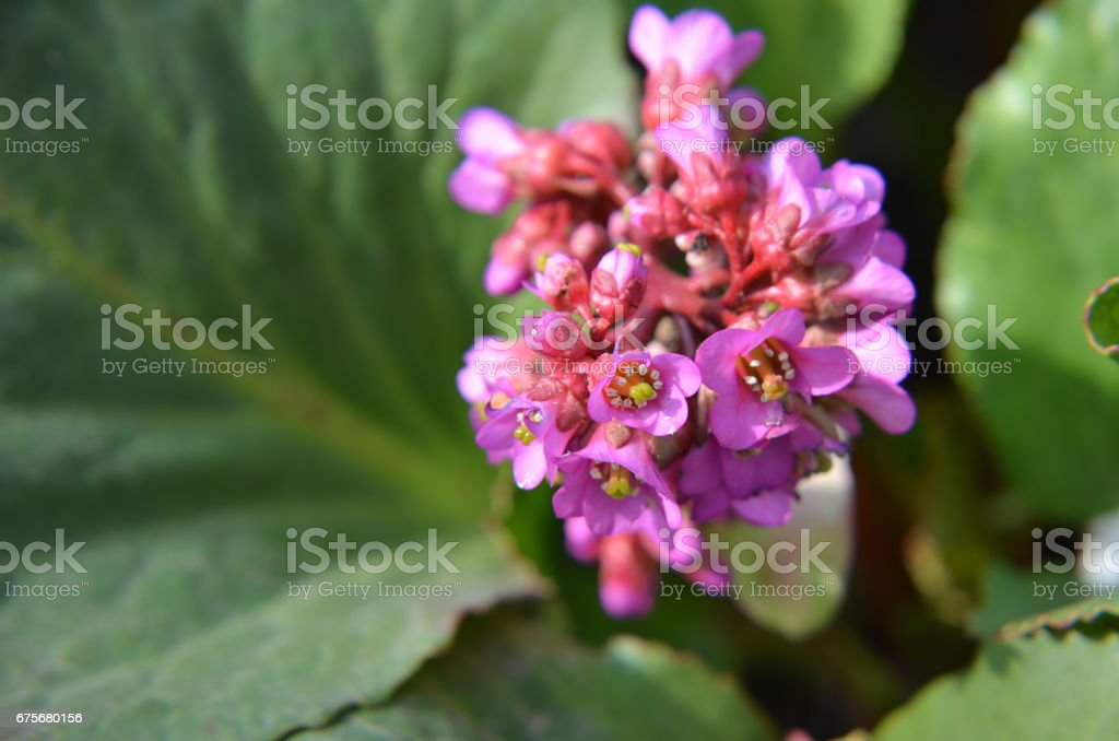Bergenia cordifolia Bergenia crassifolia or badan blooming royalty-free stock photo