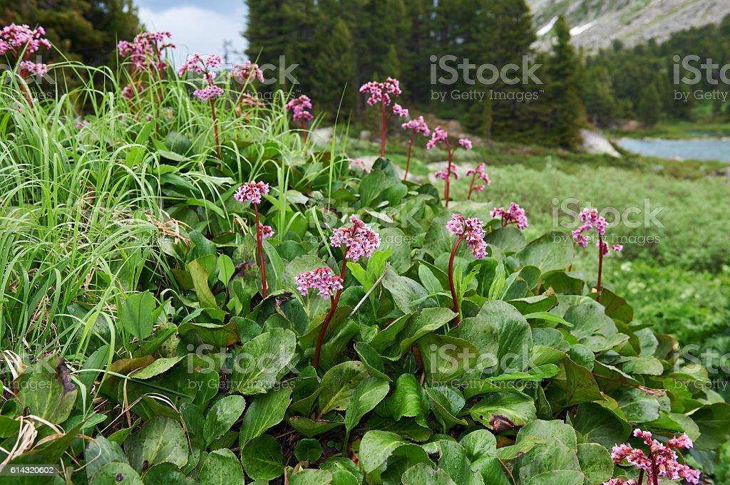 bergenia-cordifolia-bergenia-crassifolia-the-badan-siberian-t-picture-id614320602