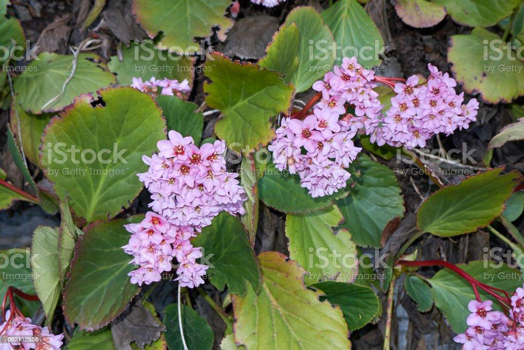 Bergenia crassifolia royalty-free stock photo