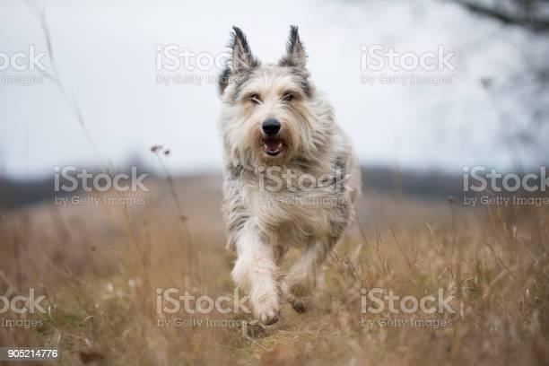 Berger picard dog in winter the field picture id905214776?b=1&k=6&m=905214776&s=612x612&h=jiycvkv2hnexb30hhumptjzjysscb jo4rmud5 h5me=