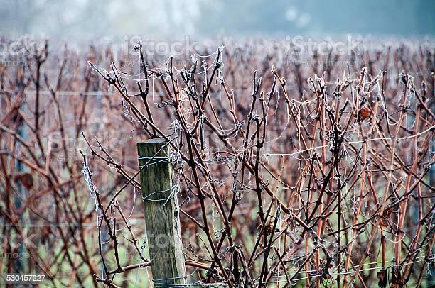 Photo of Bergerac vineyard in winter