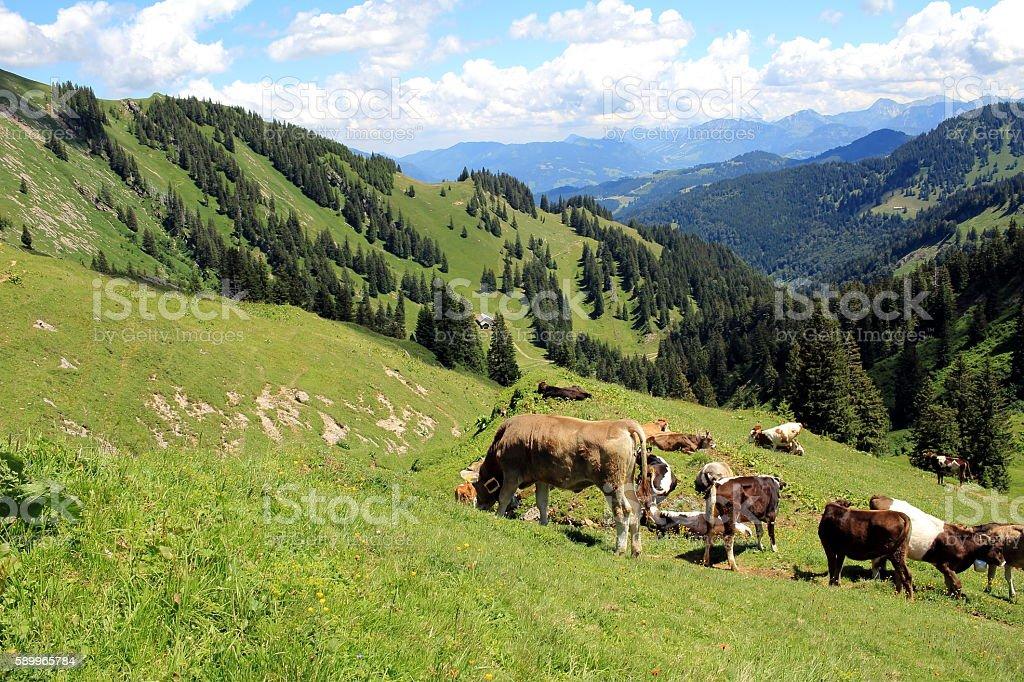 Bergkühe stock photo
