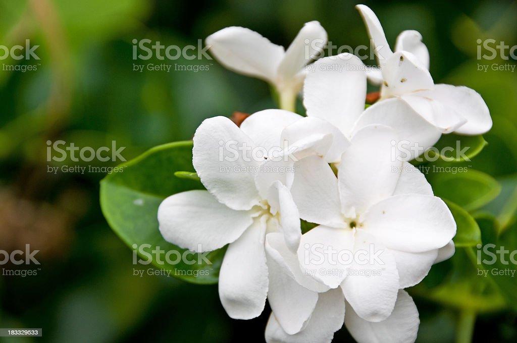 Bermuda Flower royalty-free stock photo
