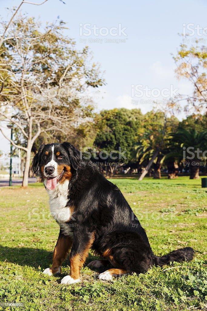 Bernard Sennenhund Dog Portrait at the Park royalty-free stock photo