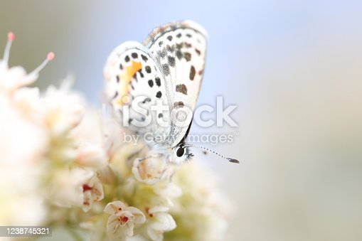 A beautiful spotted white butterfly with an orange patch rests on delicate pink and white flowers