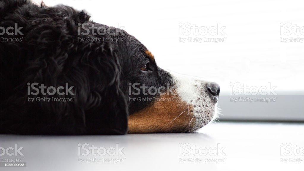 Berner Sennen Hund – Foto