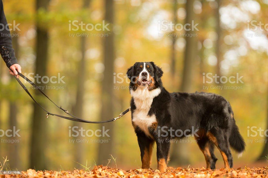 Berner Sennenhund chien - Photo