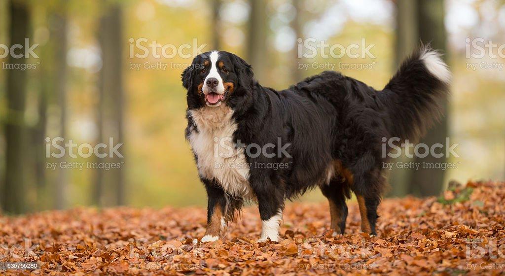 Berner Sennenhund Dog stock photo