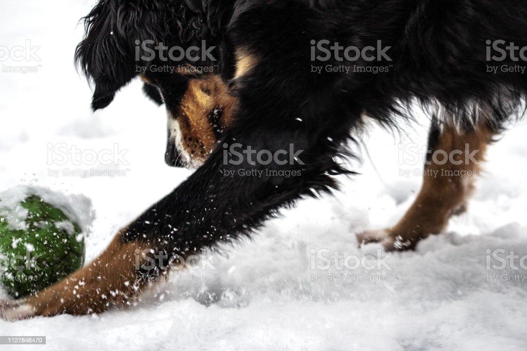 Bernersennehund Im Schnee – Foto