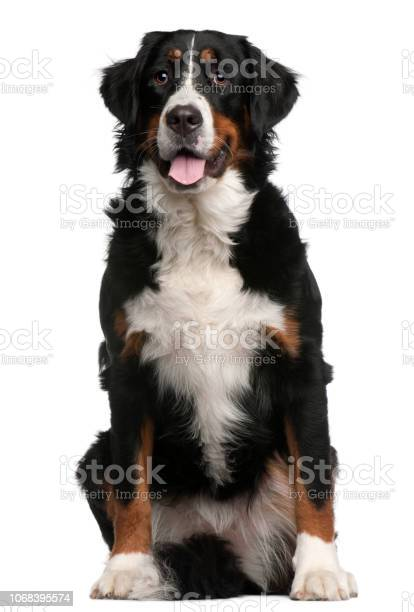 Bernese mountain dog 16 months old sitting in front of white picture id1068395574?b=1&k=6&m=1068395574&s=612x612&h=kdew5xbhanoxkzii o52npnng 6nhp 4ceot0lxjpr4=