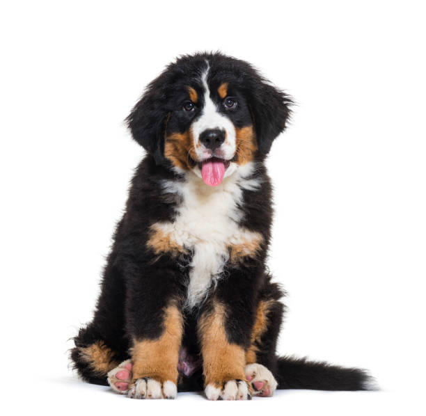 Bernese mountain dog 3 months old sitting in front of white picture id1137961078?b=1&k=6&m=1137961078&s=612x612&w=0&h=sm6vfri60cytcpbx r9q51atjnkymovhwj4albnxnw4=