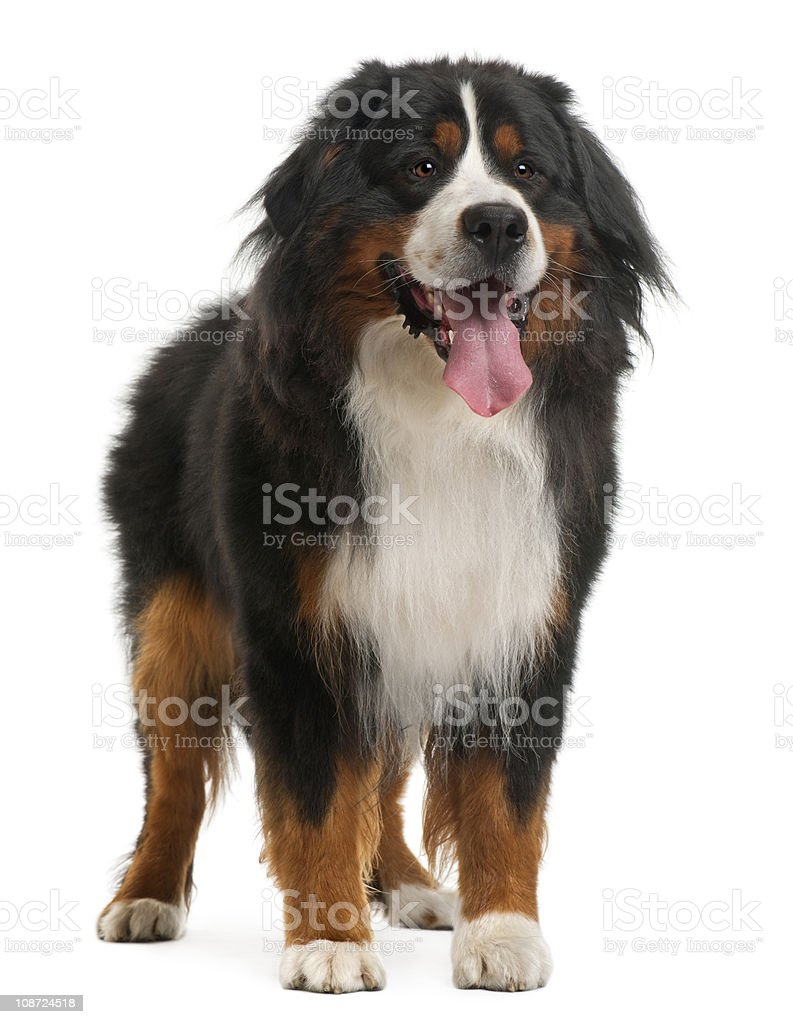 Bernese Mountain Dog, 3 years old, standing stock photo