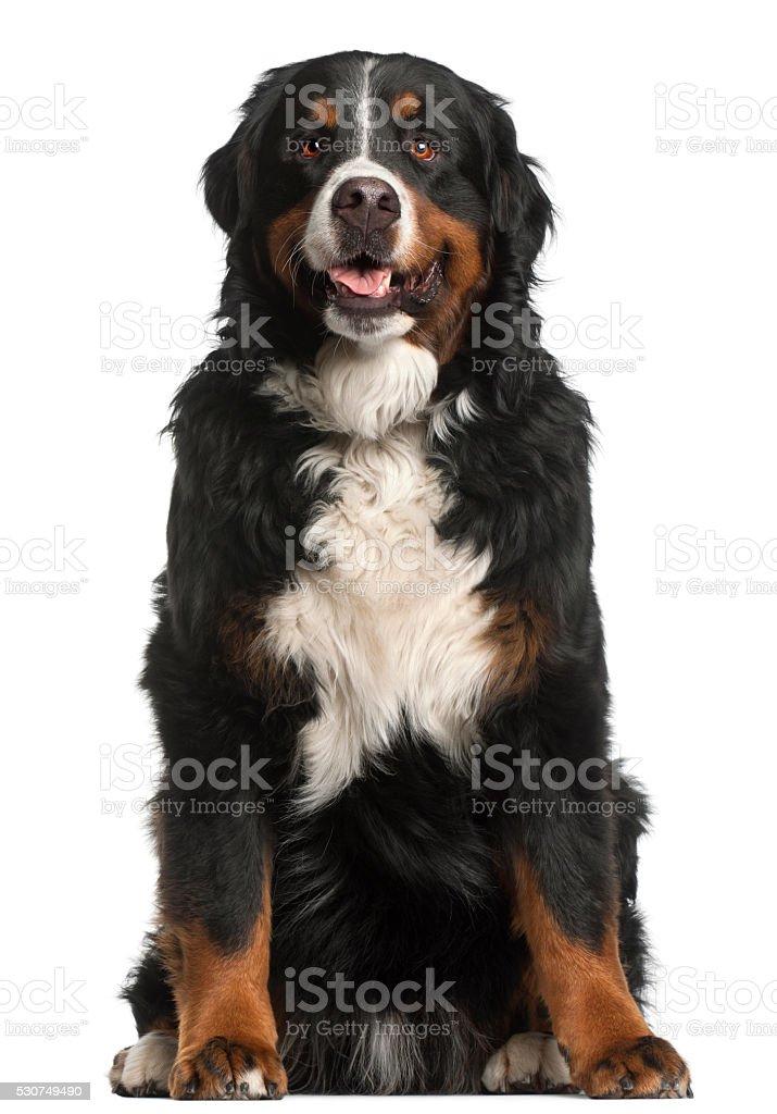 Bernese Mountain Dog, 4 years old, sitting stock photo