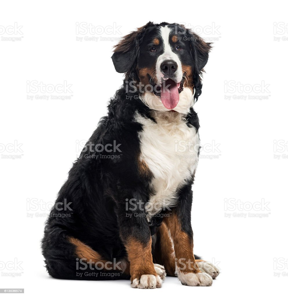Bernese Mountain Dog, 7 months old, isolated on white stock photo