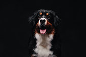 Bernese Mountain Dog against the black background