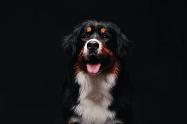 Bernese mountain dog against the black background picture id1130429445?b=1&k=6&m=1130429445&s=612x612&w=0&h=j3ap79bryvzid2tedtx7bm6f3sztvi0 2k03n9grg5a=