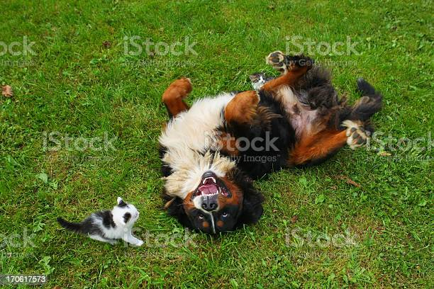 Bernese mountain dog and a young cat picture id170617573?b=1&k=6&m=170617573&s=612x612&h=xfljt9qr9bnfs566bptdqrelbayufjn3xthqqexaeiu=