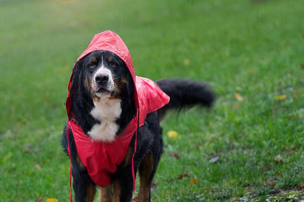 Bernese Mountain Dog dressed for rain stock photo