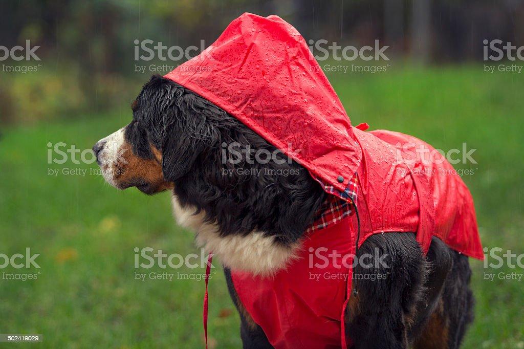Bernese Mountain Dog dressed for rain royalty-free stock photo