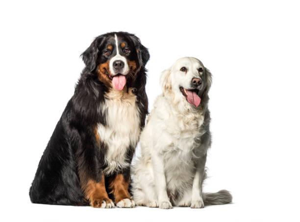 Bernese mountain dog golden retriever sitting in front of white picture id1137958440?b=1&k=6&m=1137958440&s=612x612&w=0&h=d g9gnce96fgfrpisoi9mc7ay t0uriqa6v1xqytxue=